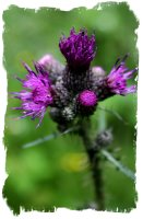 Thistle - colour magic correspondencies