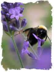Bee drinking from lavender cup ©vcsinden2011