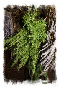 Smudging herbs - hyssop drying ©vcsinden2012