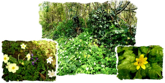 Hurst Wood, Charing, kwnt - spring flowers on the bank, taken by fae Muddypond Green