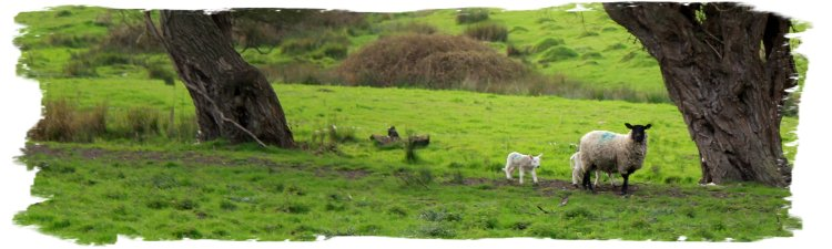 Spring lambs by the faery-tale willows