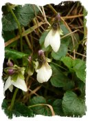 White violets on the bank near Hurst Wood, Charing, Kent