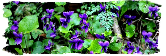 Hurst Wood, Charing, Kent - deep purple violets on the banks in March