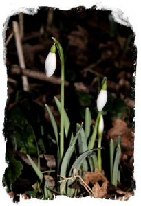 First snowdrops, Challock Church ©vcsinden2014