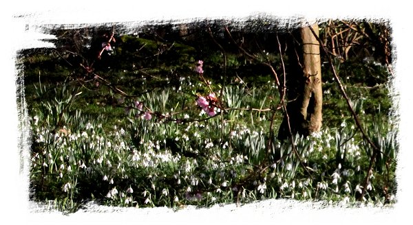 Snowdrops and blossom ©vcsinden2014