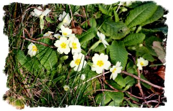 Primroses soak up a rare day of February sun ©vcsinden2014