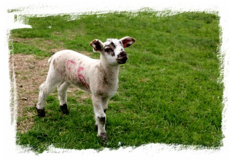 Easter Lamb at Headcorn, Kent ©vcsinden2014