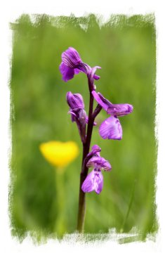 Marden  Meadows, Kent  – wild Green-winged orchids ©vcsinden2014