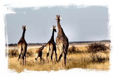 Khaudun, Namibia - family of giraffe survey the afternoon ©vcsinden2014