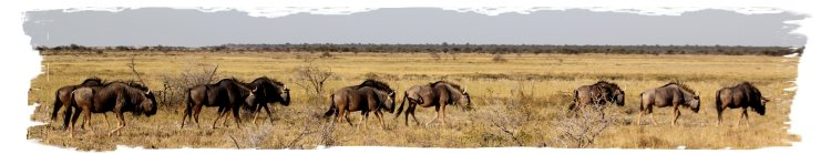 Etosha - wilderbeast lead over the plains ©vcsinden2014