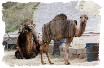 Camels survey the scene - Cappadocia, Turkey ©vcsinden2014