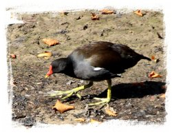 Moorhen near Gawton's Well, Staffordshire ©vcsinden2014