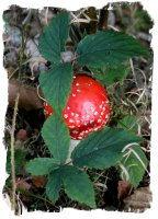 Fly agaric - young at Eco Enchantments