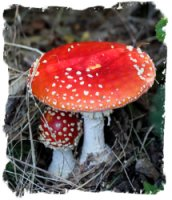 Fly agaric mushrooms, Kings Wood, Challock, kent for Eco Enchantments