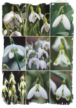 Snowdrop varieties, from 'Gardens Illustrated' magazine. Photo Clive Nichols